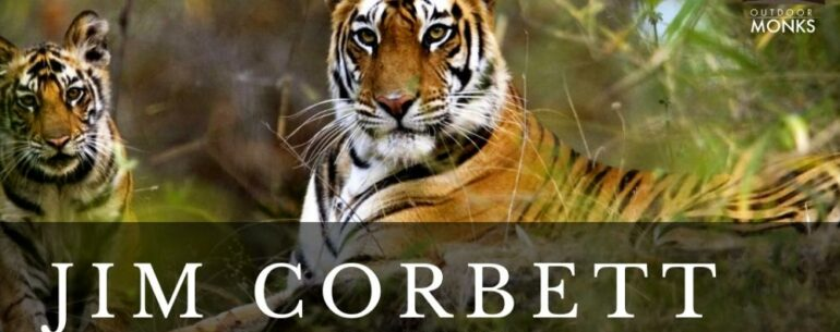 fierce-tigers-sitting-on-grass-in-jungle-jimcorbett-mounty.co